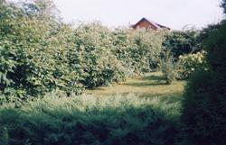 Дёрен белый высокая живая изгородь