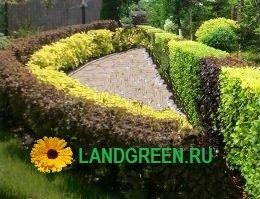 двухцветная живая изгородь